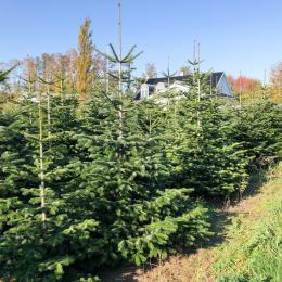 Nordmannsgran juletræer