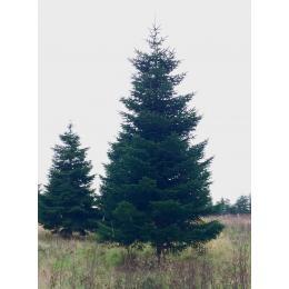 Rødgran juletræer over 4,0 meter