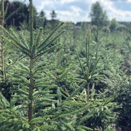 Rødgran juletræer op til 4,0 meter