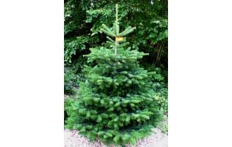 Nordmannsgran 1,25m juletræ