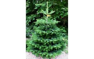 Nordmannsgran 2,75m juletræ