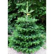 Nordmannsgran 3,50m juletræ