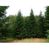 Nordmannsgran 4,50m juletræ