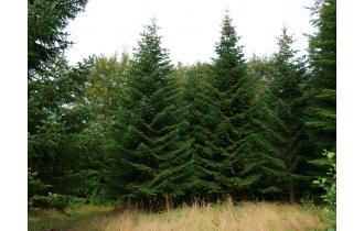 Nordmannsgran 9,00m juletræ