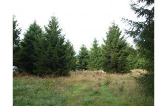 Rødgrantræ 15,00m juletræ