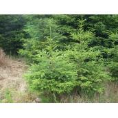 Rødgrantræ 3,50m juletræ