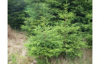 Rødgrantræ 4,00m juletræ