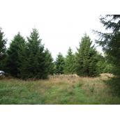 Rødgrantræ 4,50m juletræ